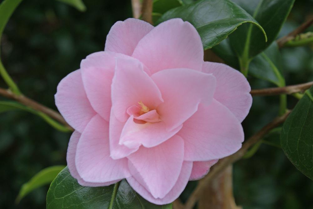 camellia fleur de pecher centerblog. Black Bedroom Furniture Sets. Home Design Ideas